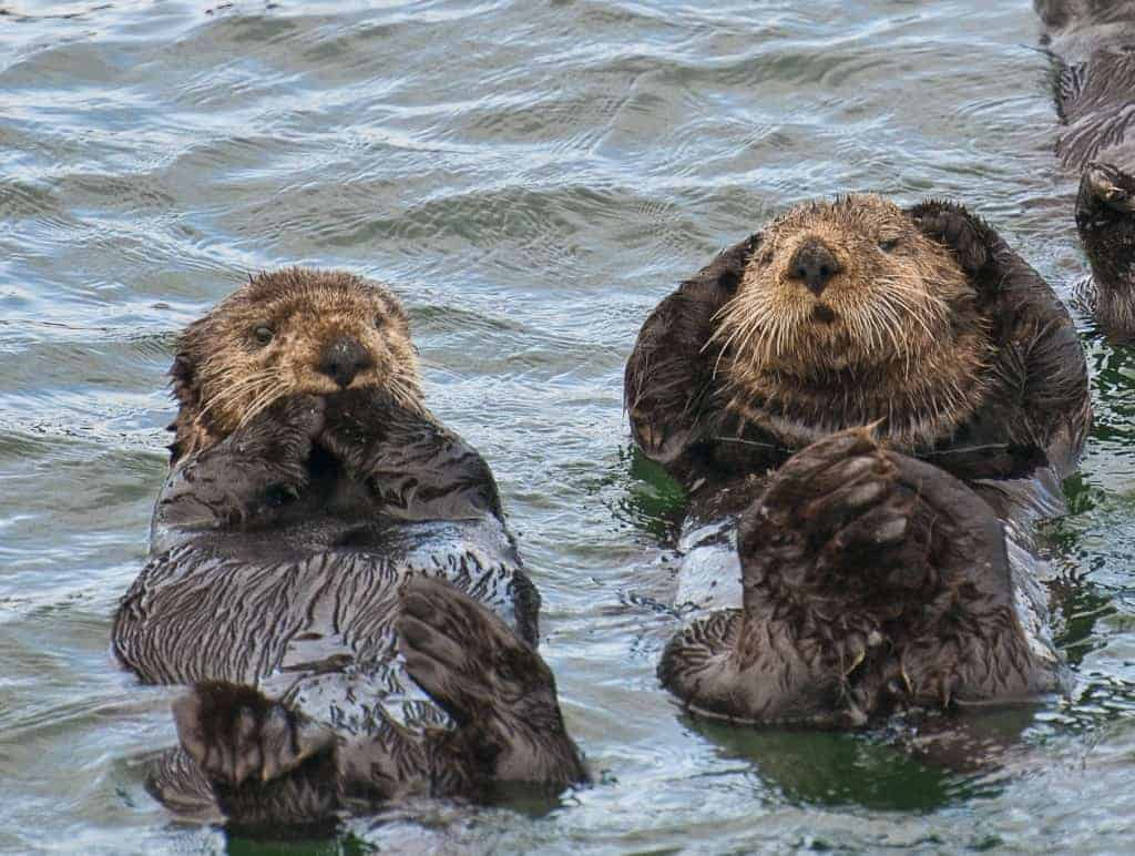 ATIA; Sea Otters; Sitka, Alaska